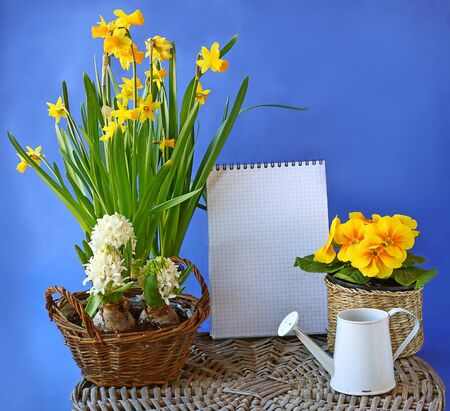 Spring flowers hyacinth, daffodil, primula in basket and watering-can on a background the clean sheet of paper for text photo