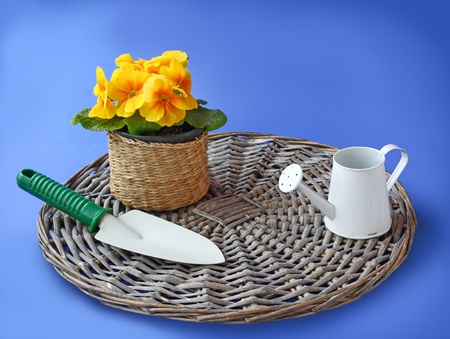 Shovel and watering can next to the yellow primula in basket on a on a blue background photo
