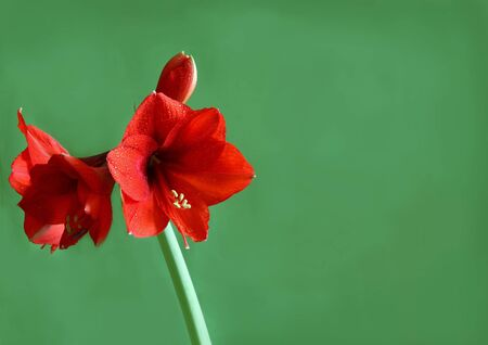 Blooming red Hippeastrum in drops of dew on a green background Stock Photo - 19620569