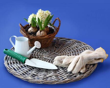 Basket with white hyacinths and garden tools on a dark blue background photo