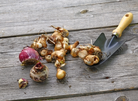 prior: The bulbs of tulips, daffodils, muscari prior to boarding in the ground