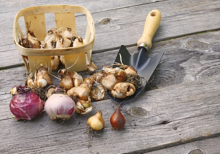 miscarry: Autumn planting of flower bulbs in the ground