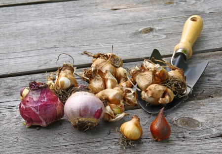 miscarry: Corms flower and garden spade on the table. Seasonal work in the garden.