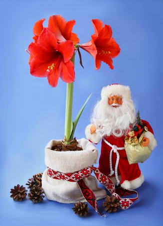 'ded moroz': New-year still life with red amaryllis, by toy Santa Claus (Father Christmas, Ded Moroz, Papa Noel) on a dark blue background Stock Photo