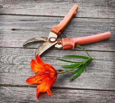 The cut flower saffron orange lilies and secateurs on a wooden background Imagens