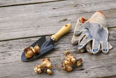 miscarry: The bulbs of  daffodils before planting in the ground and working gardening gloves