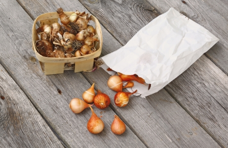 miscarry: Daffodils and tulips bulbs before planting in the ground on the wooden table.