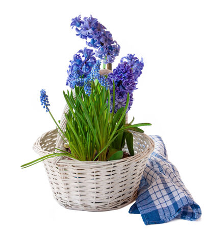 Hyacinths and muscari in a white basket isolated photo
