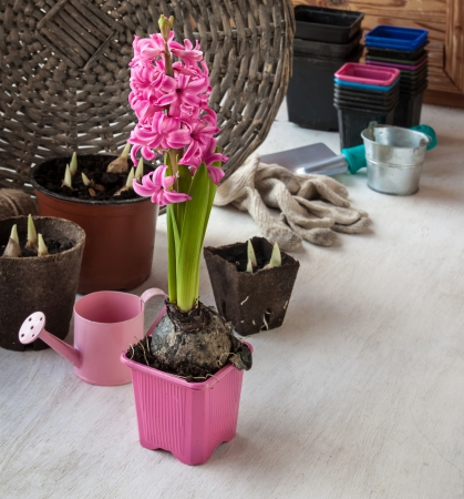 Growing pink  hyacinth on gift for mother and flower seedlings in pots photo