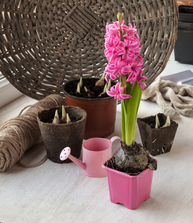 Garden still life with watering, peat pots with plants and  pink  hyacinth photo