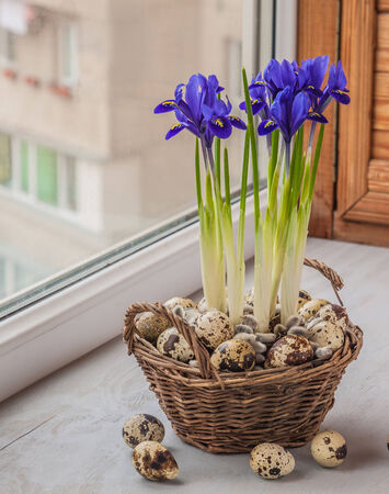 iris reticulata: Easter composition of flowering bulbous irises in a basket and quail eggs