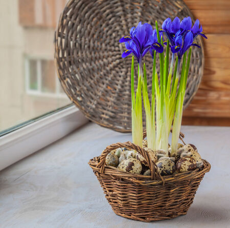 Easter composition of flowering bulbous irises in a basket and quail eggs Stock Photo - 26605338