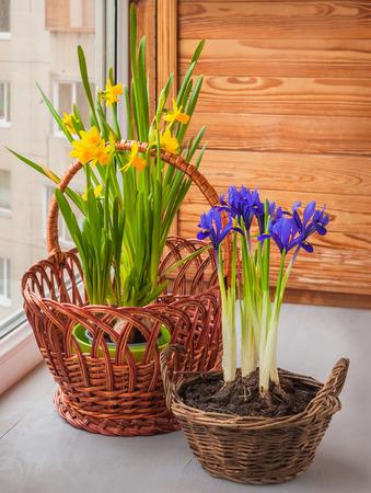 Yellow daffodils and iris (Iridodictyum reticulata) in a basket  on a window Stock Photo - 26607157