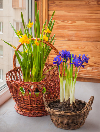 reticulata iris: Yellow daffodils and iris (Iridodictyum reticulata) in a basket  on a window