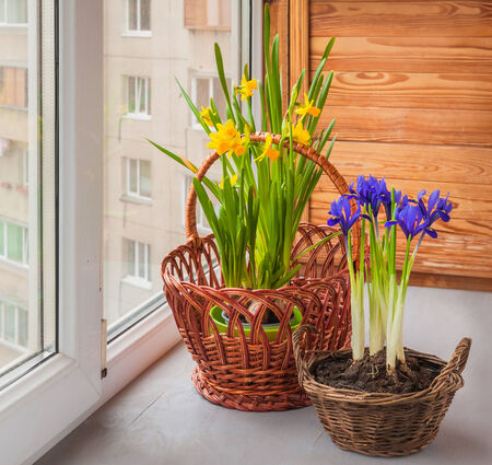 Yellow daffodils and iris (Iridodictyum reticulata) in a basket  on a window Stock Photo - 26607162