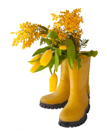 Yellow tulips, mimosal and rubber boots isolated on white background photo