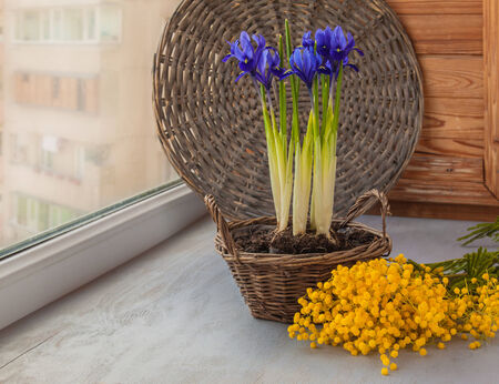 reticulata iris: Easter composition of flowering bulbous irises in a basket and mimosa