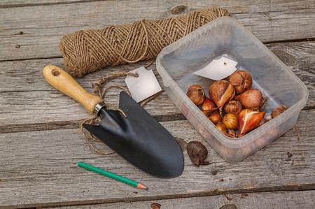 bulbar: Tulip bulbs before planting near a shovel on wooden table Stock Photo