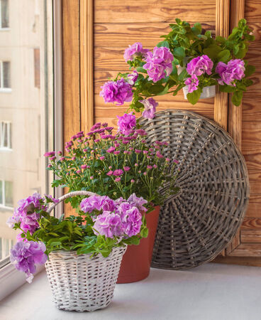 petunias: Petunia and chrysanthemums in baskets on the balcony
