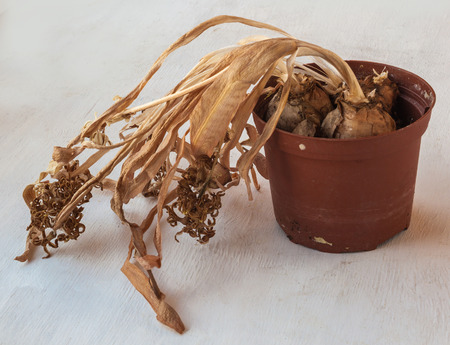 bulbar: Dried after blooming hyacinth in a pot on a wooden table