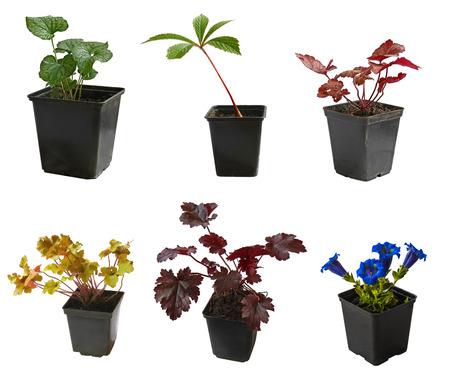 """jack frost: Plantones de jard�n plantas decorativas en macetas Brunnera macrofillia """"Jack Frost"""", nieswurz, heuchera, genciana en una maceta sobre un fondo blanco es aislado"""