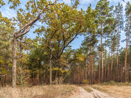 Young oak trees with yellow leaves in a pine forest near the road on a sunny day photo