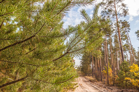 Young pine trees near a country road in autumn sunny day photo