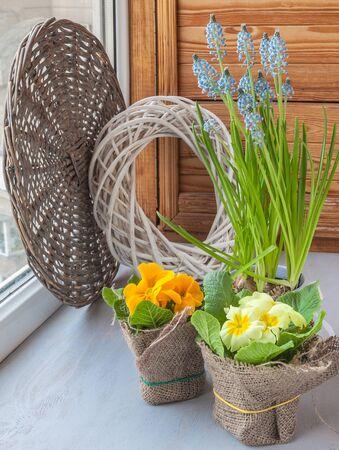 balcony window: Spring gardening on the balcony window. Muscari and primula in pots