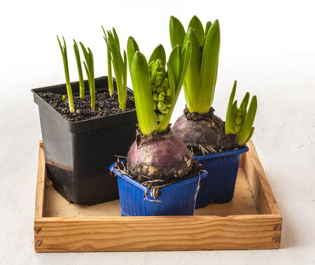 forcing: Hyacinths in pots and shoots of daffodils on a wooden tray