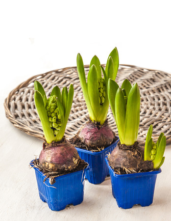 forcing: Hyacinths for of accelerated flowering in pots on a background of wicker round