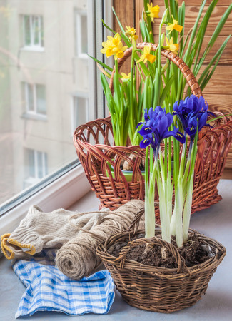 reticulata iris: Accelerated flowering bulbs on the windowsill in the early spring Stock Photo