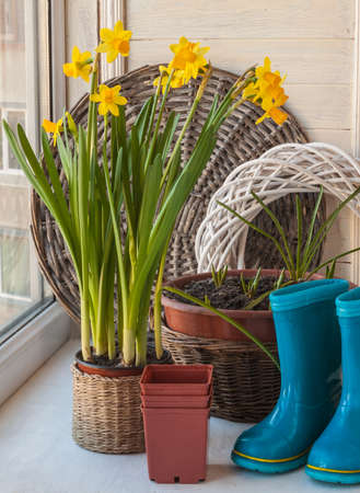 rubber boots: Daffodils, primroses in pots and blue rubber boots on the windowsill Stock Photo