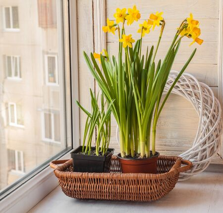 incubation: Yellow daffodils in a pot on the balcony