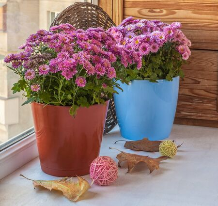 Two magenta chrysanthemums bush in pots on the windowsill balcony Stock Photo