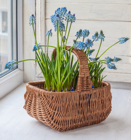 balcony window: Cultivation muscari in pots and in the rural baskets on the balcony window Stock Photo