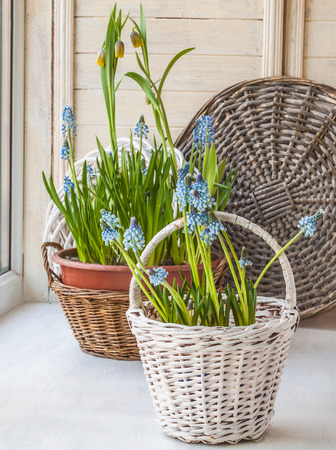 balcony window: Cultivation muscari and fritillaria in pots and in the rural baskets on the balcony window