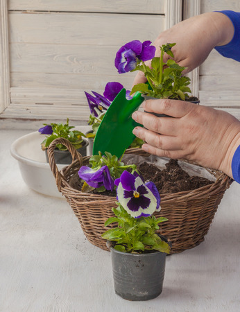 transplanted: Female hands transplanted seedlings of pansies in a decorative basket