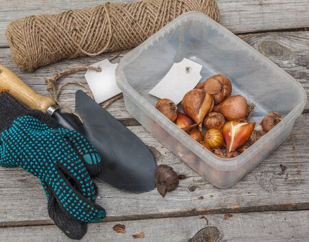 bulbar: Tulip bulbs before planting near a shovel and work gloves on wooden table Stock Photo
