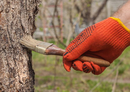 seasonal worker: Male hand with a paint brush whitening apple tree, typical job for springtime