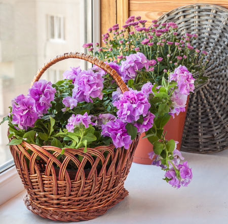 balcony window: Double petunia and chrysanthemum in a basket on the balcony window