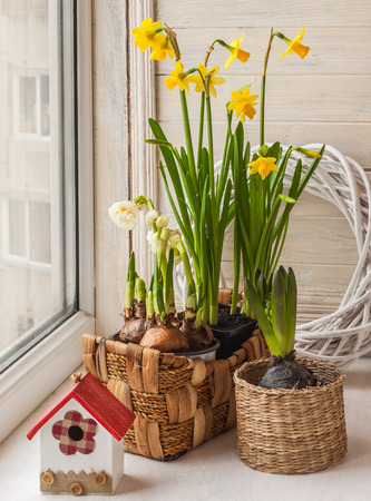 forcing: Daffodils and hyacinths on a window in baskets Stock Photo