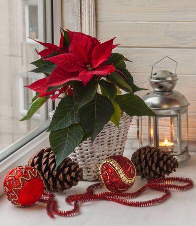 flor de pascua: Poinsettia (Euphorbia pulcherrima), adornos de Navidad y luces en la ventana, en vísperas de Adviento