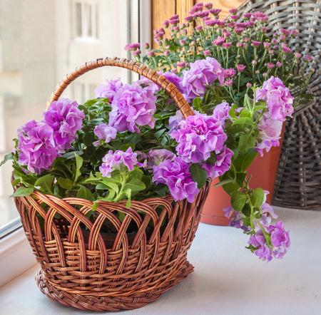 balcony window: Double petunia and chrysanthemum in a basket on the balcony window