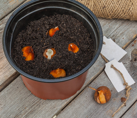 accelerate: Planting tulip bulbs in a pot to accelerate flowering