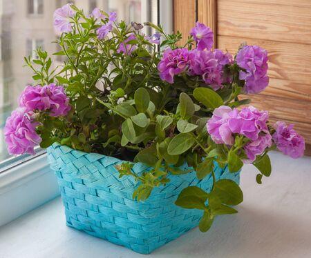 balcony window: Petunia in a basket on the balcony window Stock Photo
