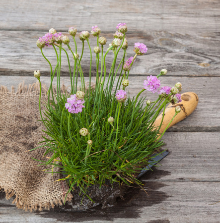 Young plant Armeria at the old table next to the  garden shovel photo