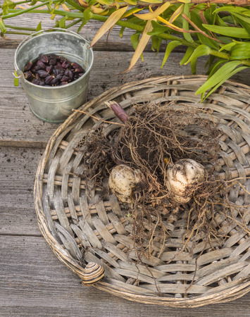 bulb and stem vegetables: Tubers and bulbs lilies on a background of wooden table Stock Photo