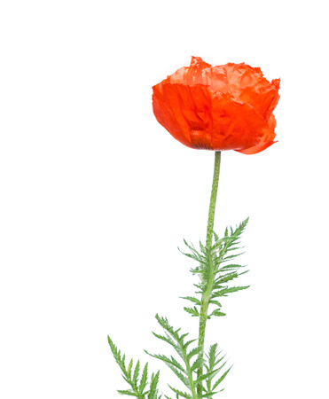oriental poppy: Single Papaver orientale (Oriental poppy) is a perennial flowering plant native to the Caucasus, northeastern Turkey, and northern Iran isolated over white background.