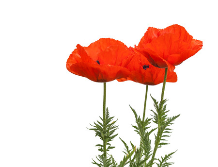 oriental poppy: Papaver orientale (Oriental poppy) is a perennial flowering plant native to the Caucasus, northeastern Turkey, and northern Iran isolated over white background. Stock Photo