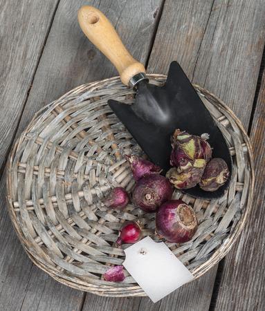 dug: Sorting dug bulbs of hyacinths on the sort and size